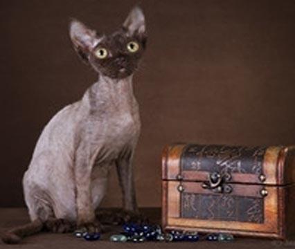 Devon Rex. Cat chocolate color