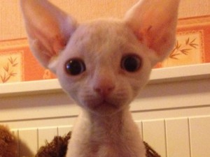 Beautiful cat Devon Rex white color with blue eyes