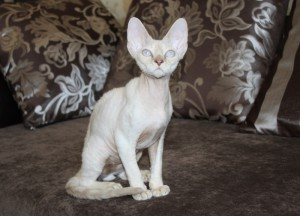 Buy Devon Rex kitten with blue eyes