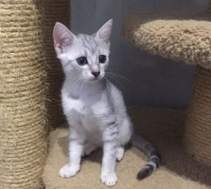 Kittens Egyptian Mau