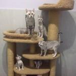 котята египетская мау фото