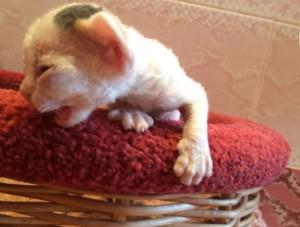 Little kittens Devon Rex