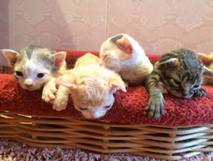 Little kittens Devon Rex