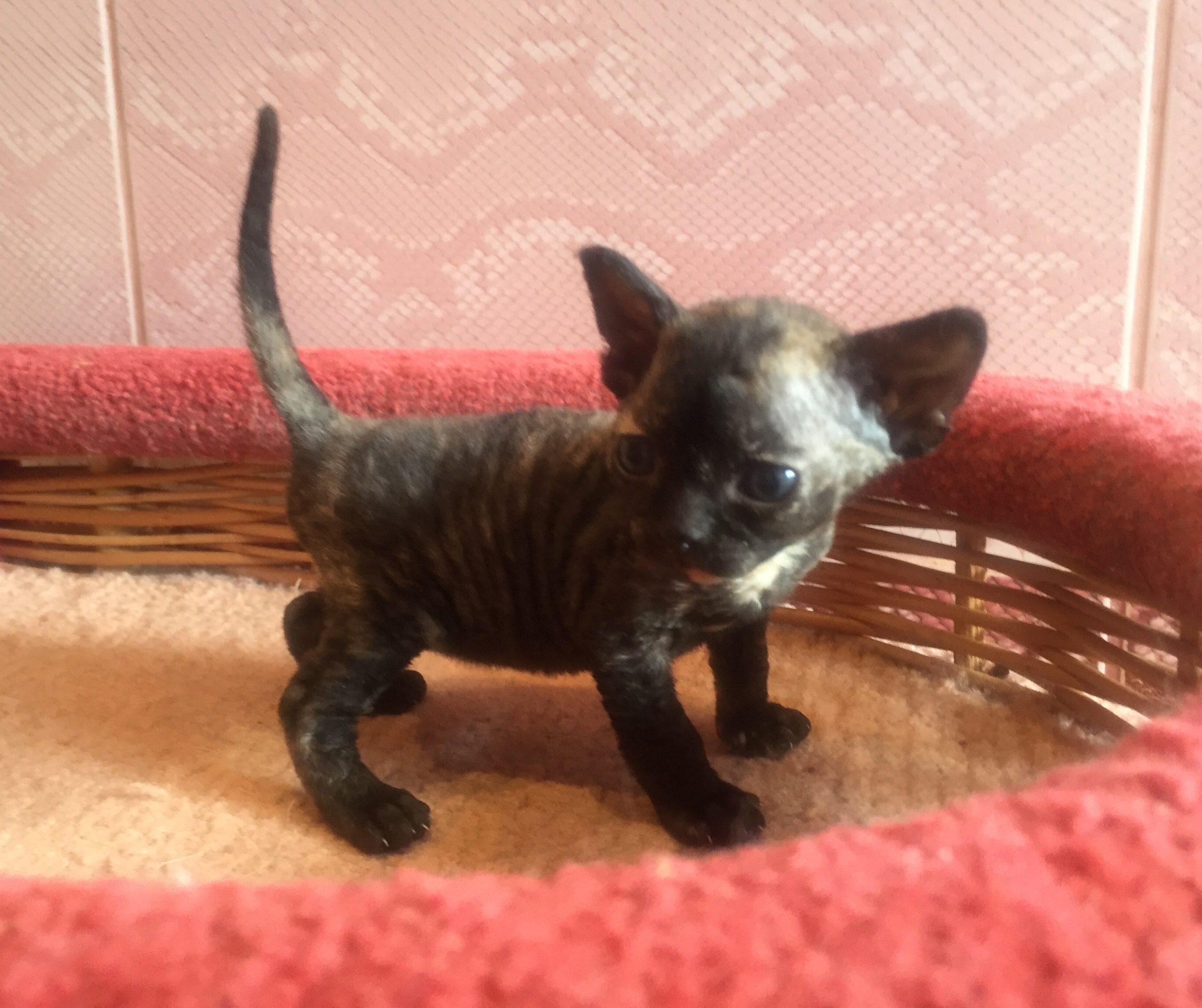 Devon Rex cat tortie color