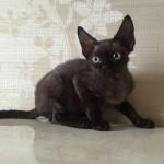 Котик черно-шоколадного окраса