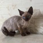 Кошечка окраса минк