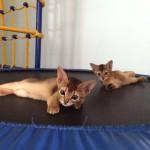 Котята абиссинской кошки ждут Вас!