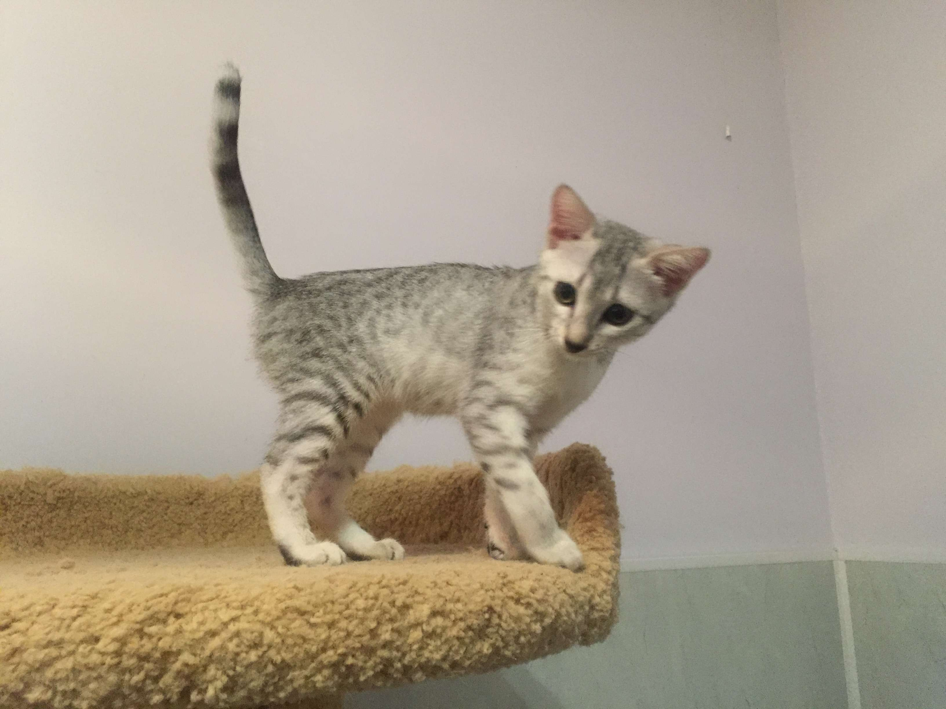 Egyptian Mau for sale, silver color