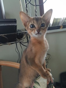 Abyssinians for sale