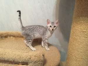 Котята Египетская мау на продажу