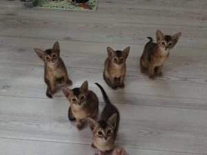 Резервирование абиссинских котят