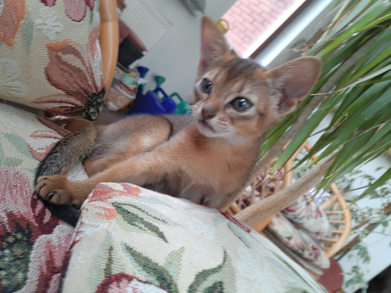 Abyssinians for sale. Photo Abyssinians