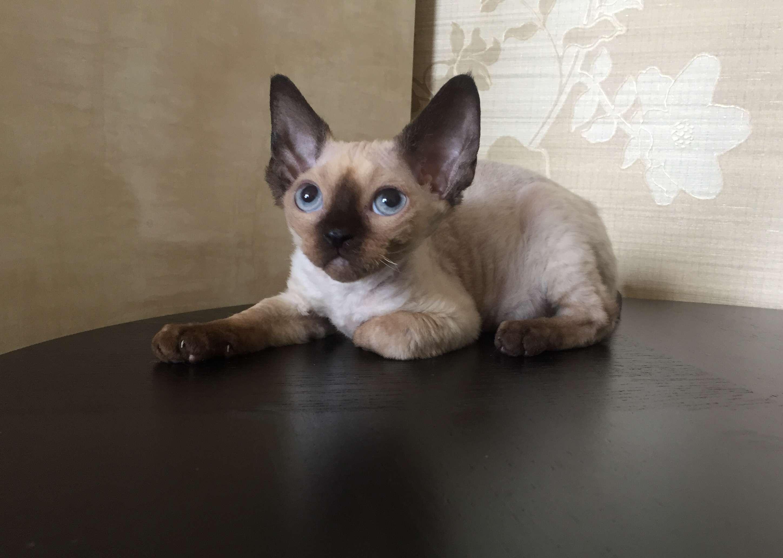 Окрасы сиамской кошки
