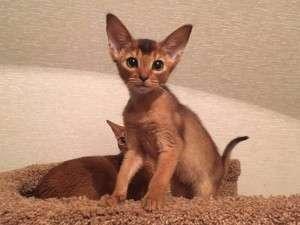 Прекрасные котята абиссинцы!