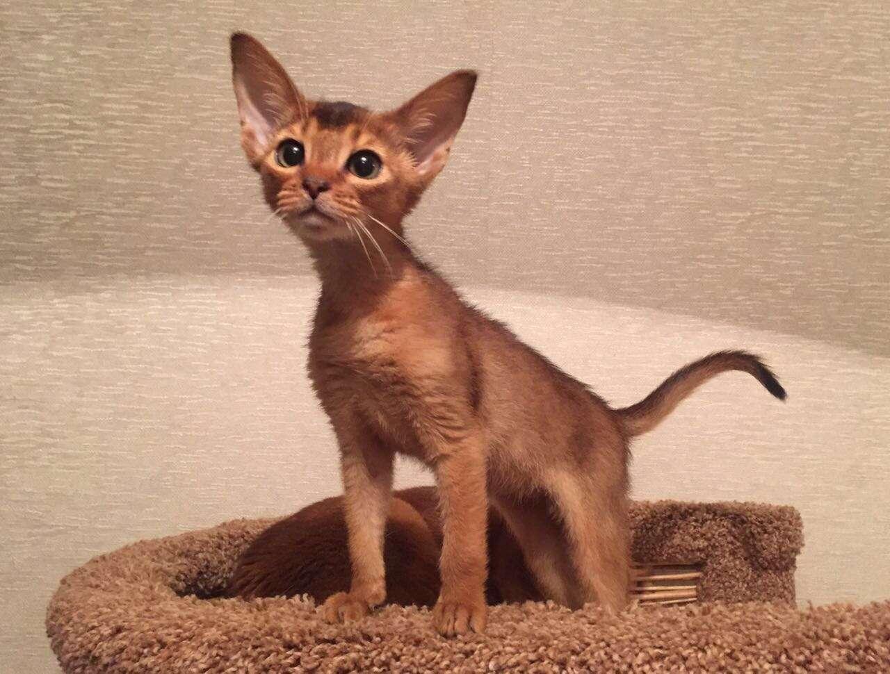 Абиссинский котик дикого окраса, с бездонными глазками и большими ушками