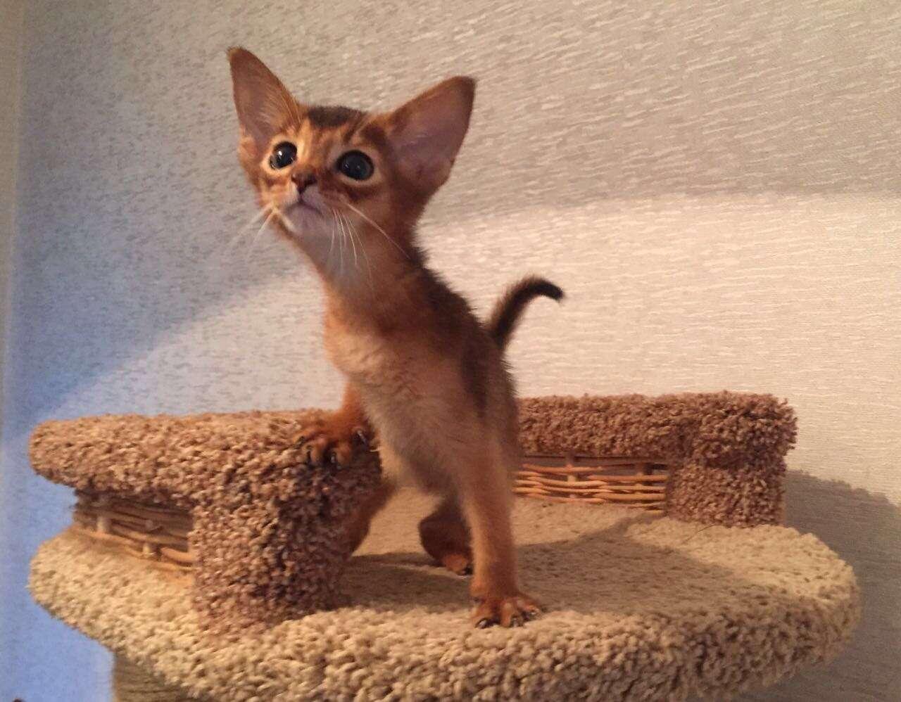 Кот абиссинец купить