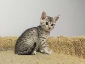 Котята египетская мау