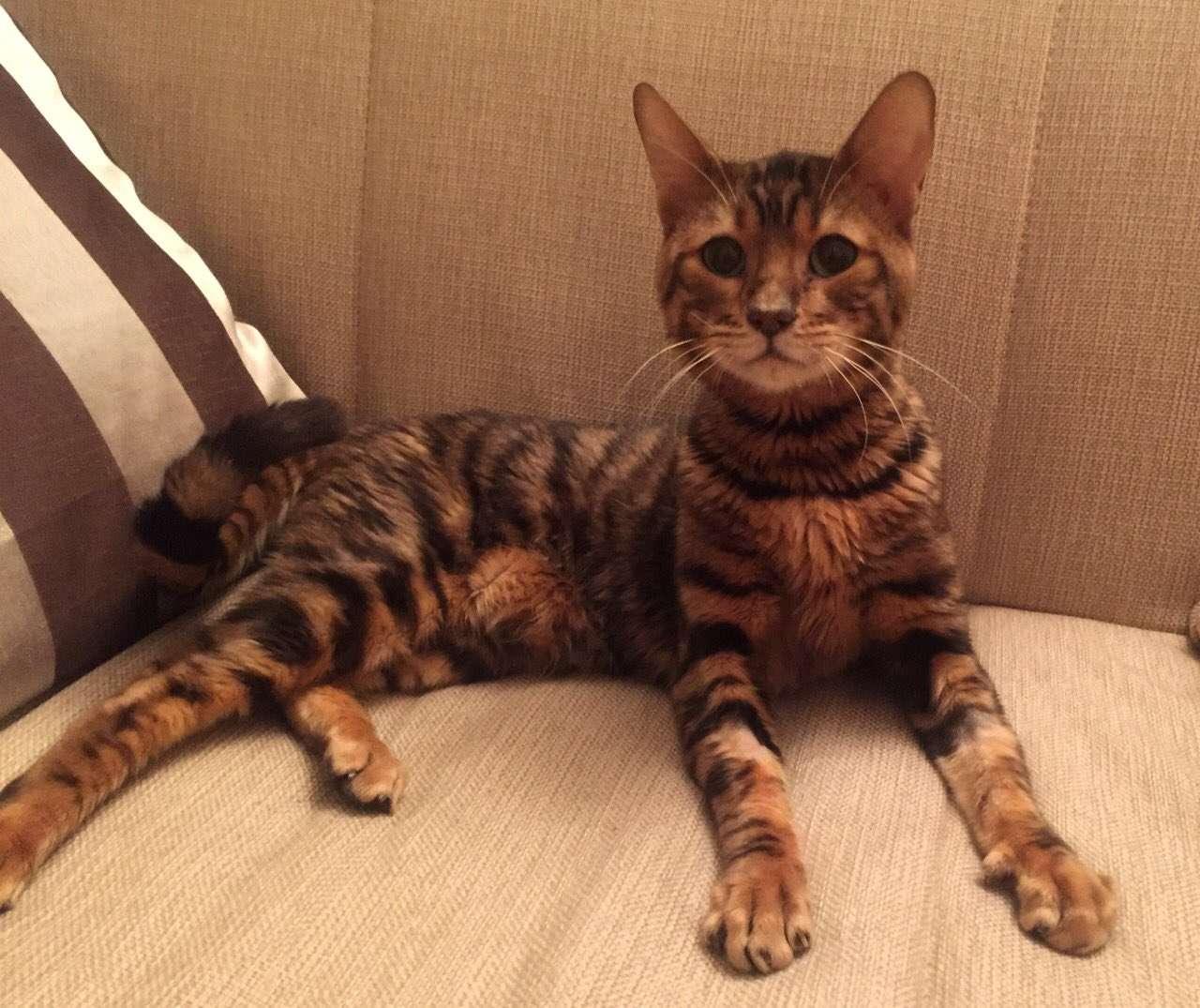 кот производитель порода тойгер