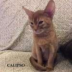 Абиссинские котята- Карим, Карима и Калипсо, владелец Агнежка Шнабель, г.Торун, Польша