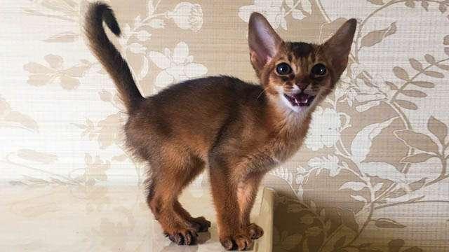 Купить котёнка абиссинца Nefertee