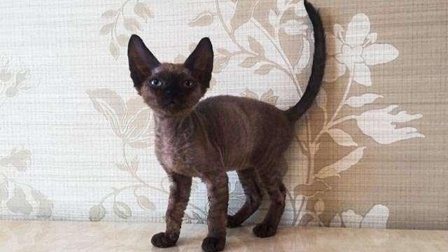 Питомник элитных кошек Nefertee