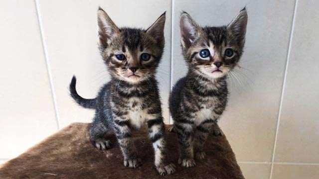 Купить котёнка тойгер в Nefretee