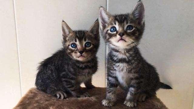 котята тойгер недорого