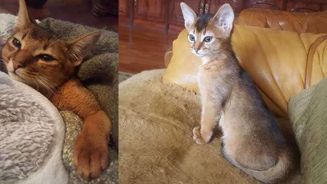 Макс - абиссинский котик дикого окраса