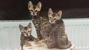 Абиссинские котята на продажу