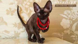 Котята Девон-рекс на продажу