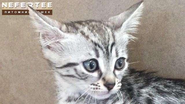 Как купить котёнка в питомнике Nefertee