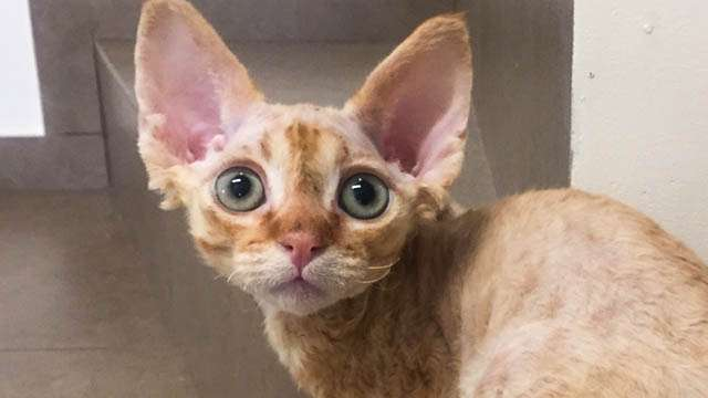 Котик Девон Рекс красного окраса