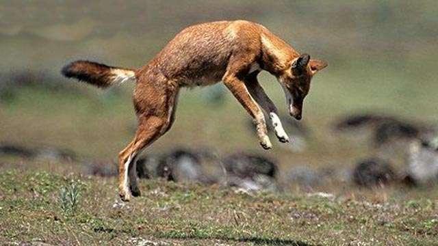 Абиссинский волк