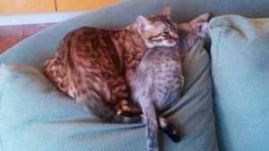Отзывы (Египетские Мау, котята в новых домах)