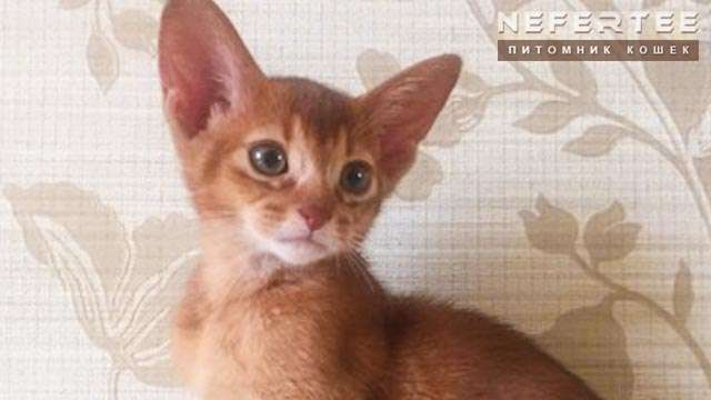 Cat sorrel Abyssinian breed, Nefertee
