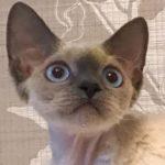 Кошечка Девон Рекс окраса блю поинт