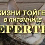 Жизнь Тойгеров в питомнике Nefertee. Видео