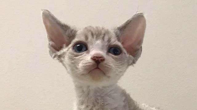продаётся котик девон рекс