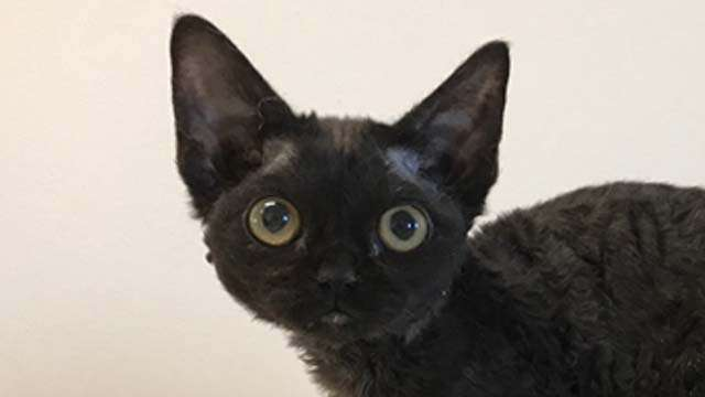 Kitty Devon Rex black color with astrakhan fur coat and green eyes