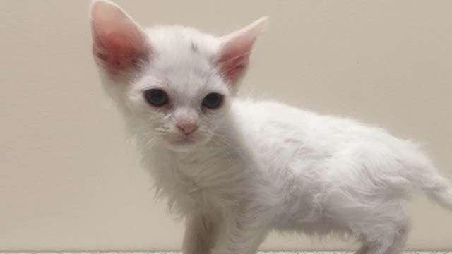 White cat Devon Rex