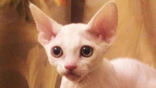 Kitty Devon Rex white with green eyes