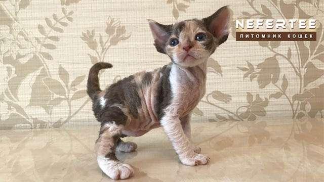 Tricolor kitty devon rex (Calico)