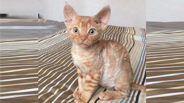 Findus - Devon Rex red cat