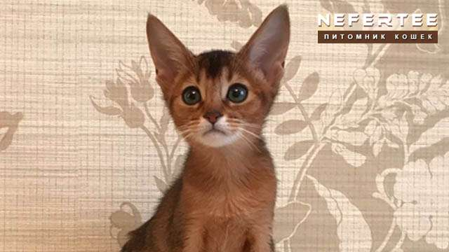 Abyssinian cat wild color