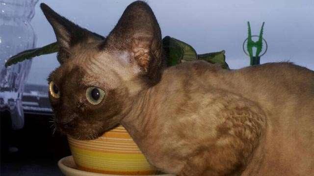Marcus - cat Devon Rex Mink color